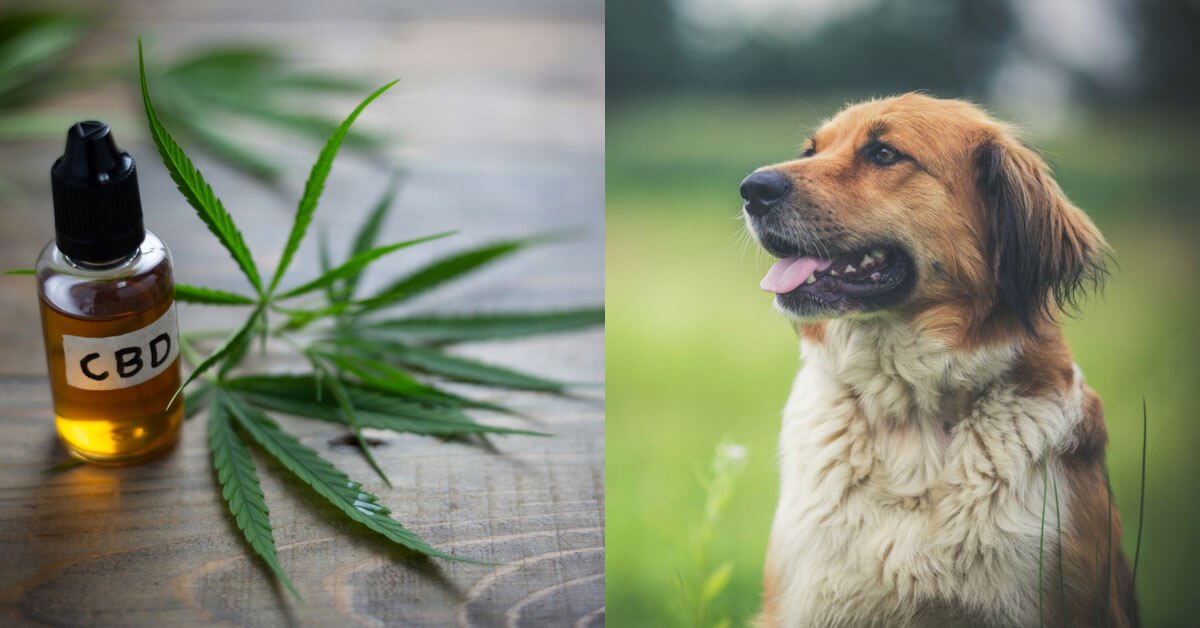 myth: CBD makes dogs high