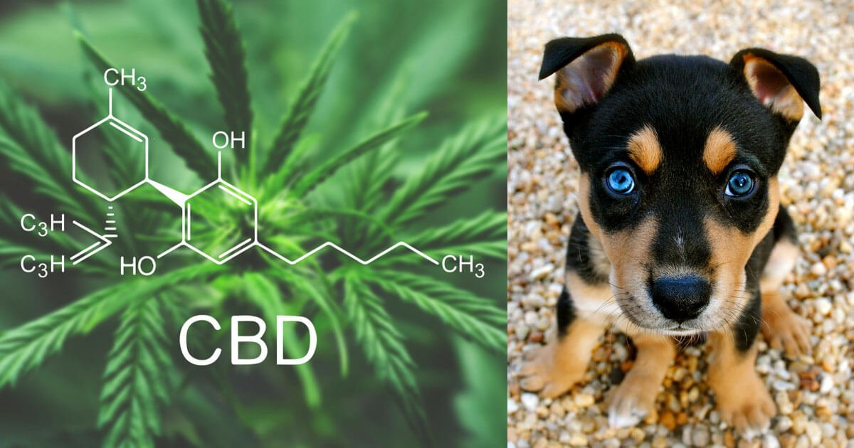 myths about CBD for dogs