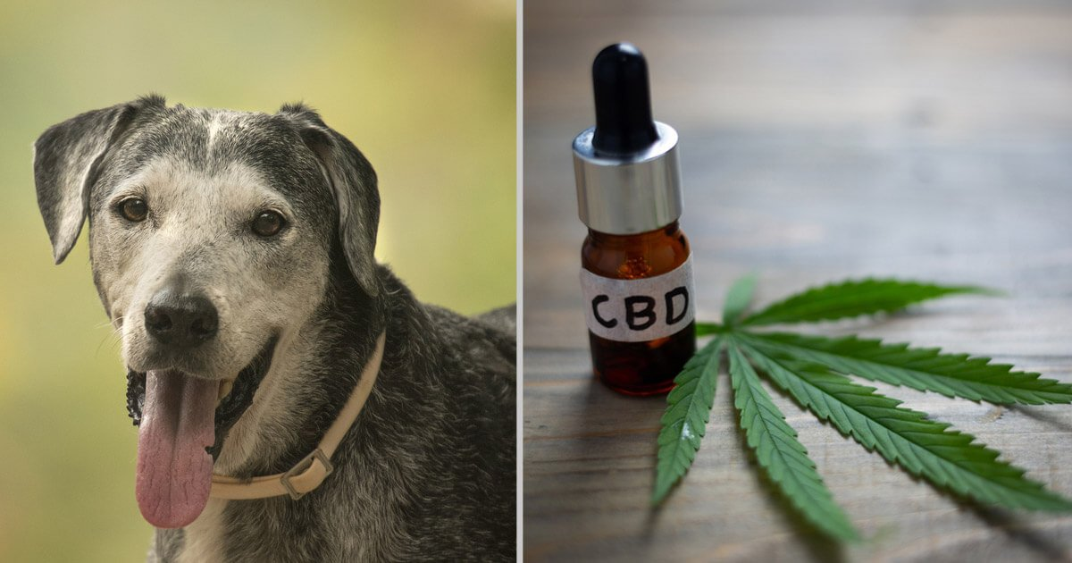 Why pet owners are giving the elderly dogs CBD oil