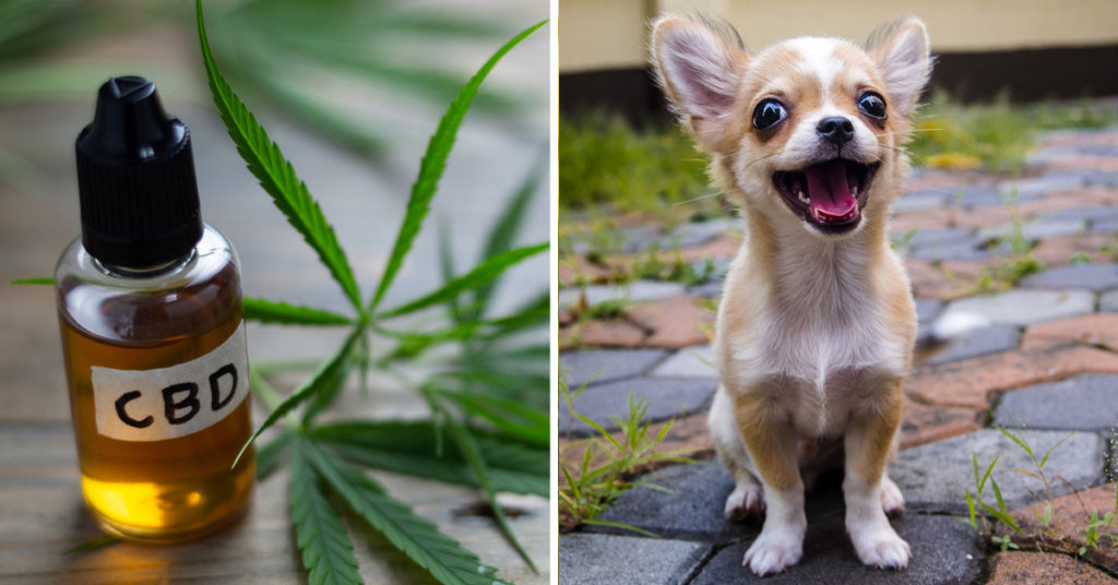 CBD Oil for Chihuahuas: How CBD from Hemp Can Help Your