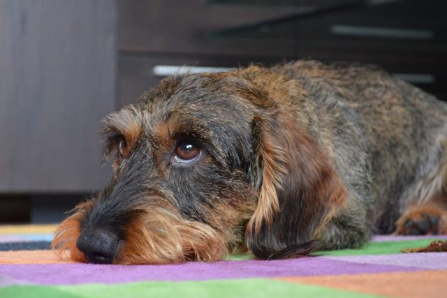 what can i give my dachshund for anxiety