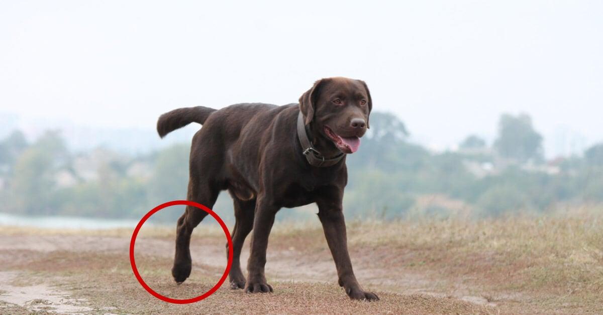 Stiff dog limping - Can CBD help my stiff or limping dog?