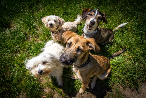 how long do the effects of cbd oil last for different dogs?