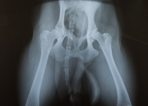 hip displasia in dogs radiograph