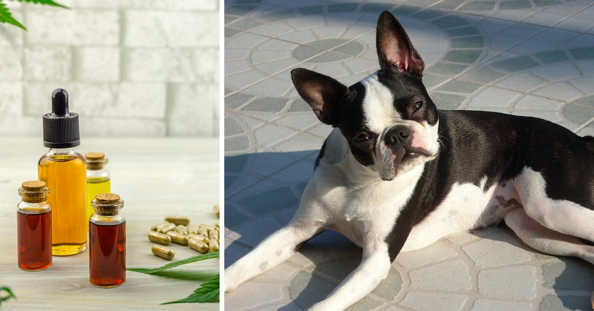 7 Reasons Why So Many Boston Terrier Owners Are Giving CBD Oil