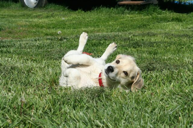 Puppy Rolling in Grass
