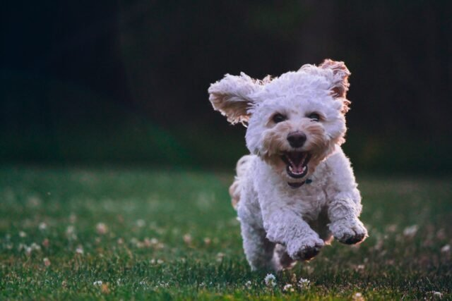 A happy and healthy poodle running