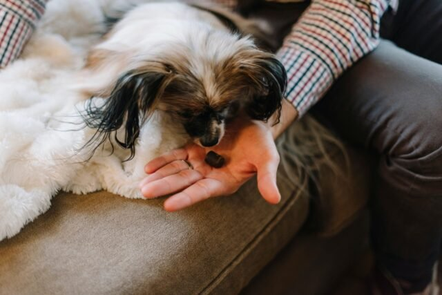 person offering dog a CBD treat