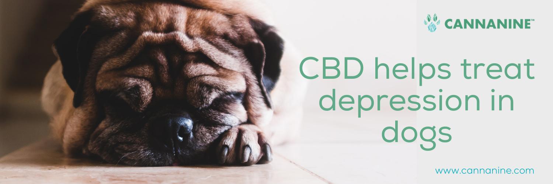 Pug having a depression